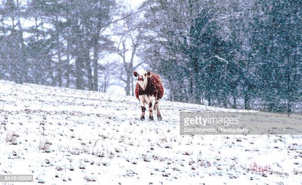 Cow in snow storm on Cow in country side