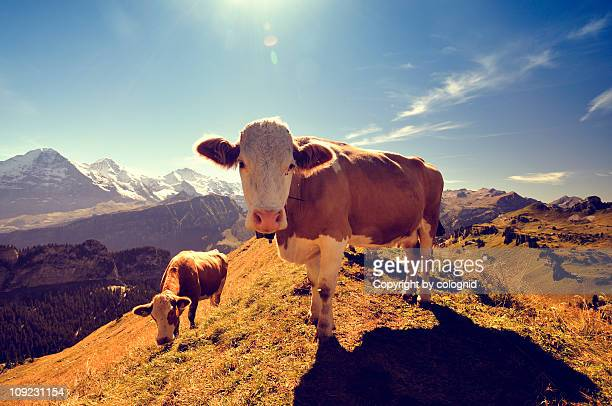 Cow in Switzerland