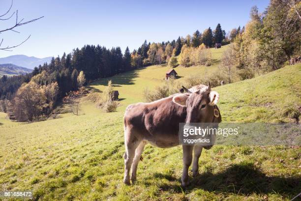 Cow in the Allgaeu Alps