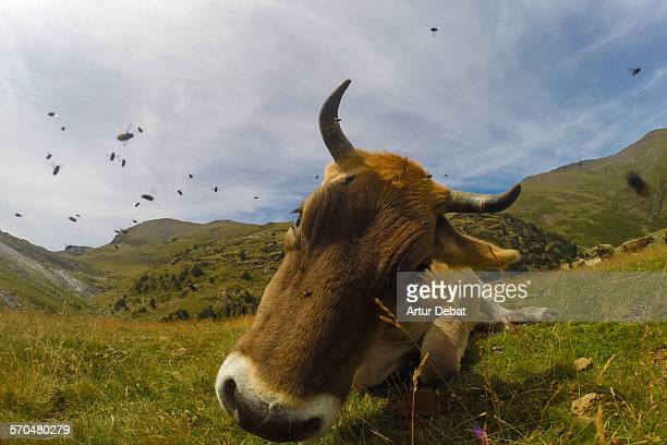 Cow in the Catalan Pyrenees on summer.