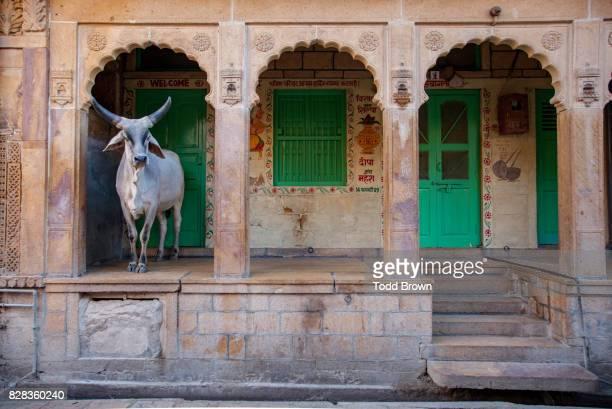 Cow in the doorway in Jaisalmer