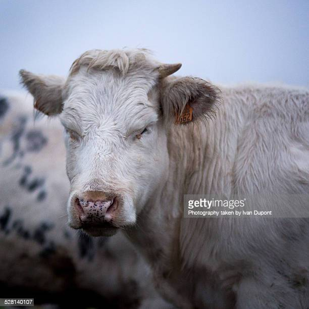 Cow in the early morning