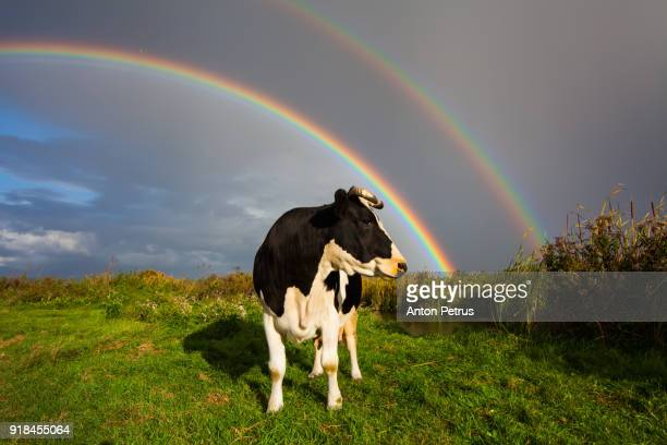 Cow in the field on a background of the rainbow summer