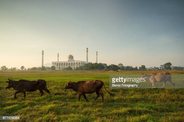 a cow in the field with central mosque of songkhla - hat yai foto e immagini stock