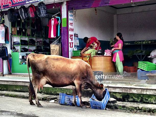 CONTENT] Cow is a divine animal in Nepal
