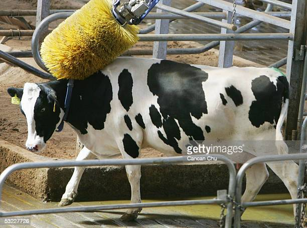 A cow is brushed by an automatic cow brush at Mengniu Dairy Co Ltd's modern dairy farm July 12 2005 in Hohhot Inner Mongolia autonomous region in...