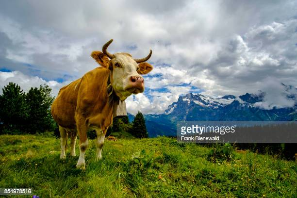 GRINDELWALD BERN SWITZERLAND A cow is grazing on the green meadows of the mountain slopes of Bernese Oberland