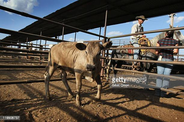 A cow is held in a pen after being sold at the Abilene Livestock Auction July 26 2011 in Abilene Texas A severe drought in the region has caused...