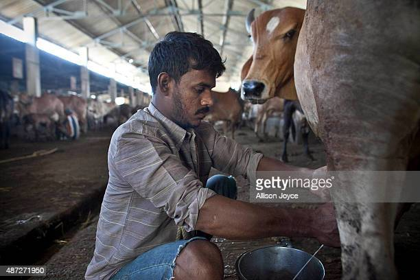 A cow is milked at the Shree Gopala Goshala cow shelter September 7 2015 in Bhiwandi India Earlier this year the Maharashtra government banned the...