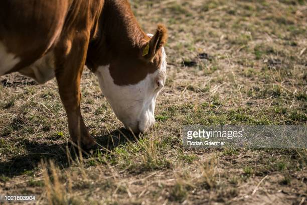 A cow is pictured during eating on a withered field on August 23 2018 in Weigersdorf Germany