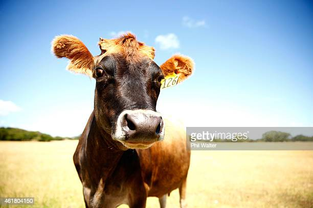 A cow is pictured in the dry conditions at Ambury Farm on January 20 2015 in Auckland New Zealand Soilmoisture levels across the country are lower...