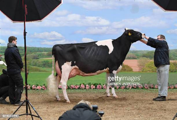 TOPSHOT A cow is prepared for a photo shooting during the 45th edition of the Show of the Best dairy cow beauty pageant on February 22 2018 in Verden...