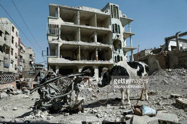 TOPSHOT A cow is seen attached to scrap metal near destroyed buildings in Douma in the rebel enclave of Eastern Ghouta on the outskirts of Damascus...