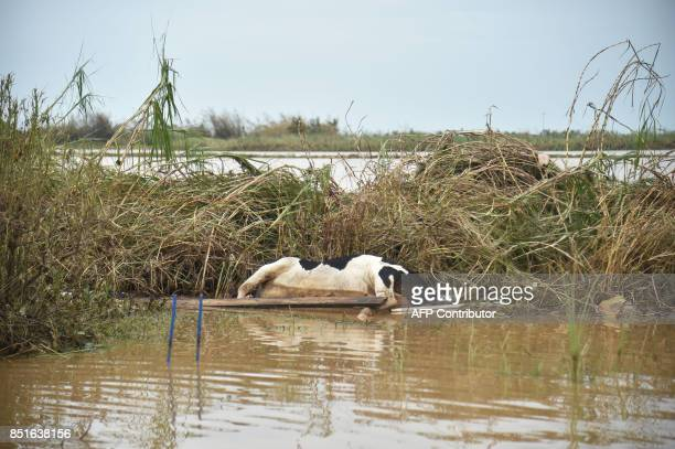 A cow lays dead on the ground in Ingenio Toa Baja Puerto Rico on September 22 2017 Puerto Rico battled dangerous floods Friday after Hurricane Maria...
