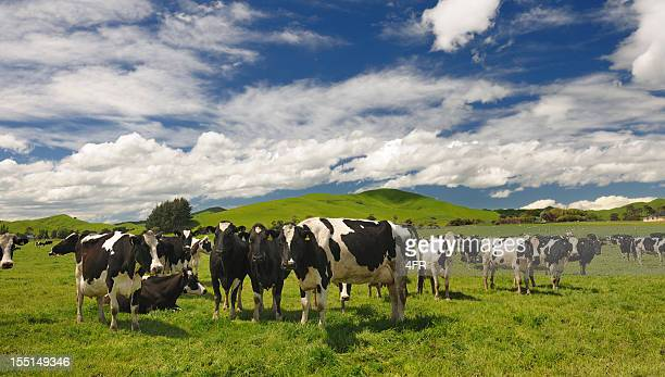 cow livestock, new zealand (xxxl) - new zealand stock pictures, royalty-free photos & images