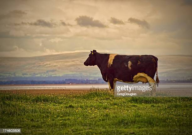 Cow Looking At The Sea