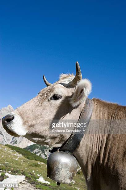Cow looking at viewer