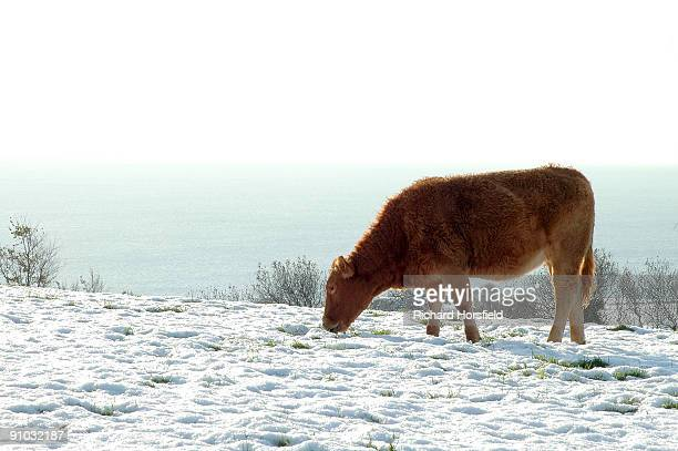 Cow Looking For Food In A Snowy Field