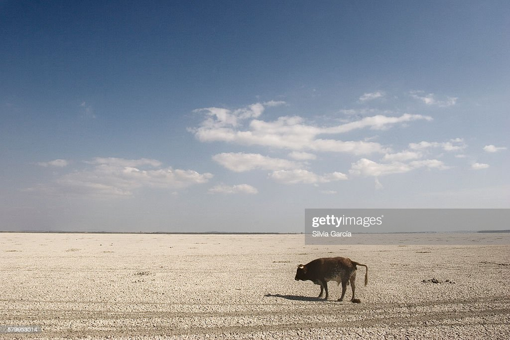 Cow looking for water on thn the dry marshes, Doñana National Park, Huelva : Stock Photo