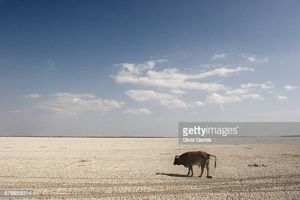cow looking for water on thn the dry marshes, doñana national park, huelva - turista stockfoto's en -beelden