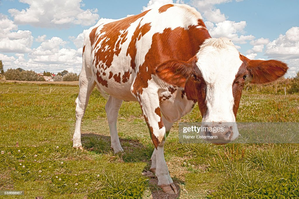 Cow looking into camera : Foto stock