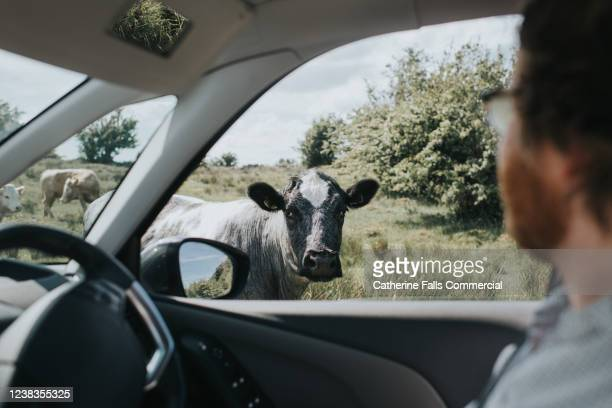 cow looking into car - driving stock pictures, royalty-free photos & images