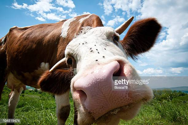 cow looking straight into the camera - big nose stock photos and pictures
