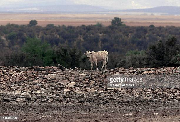 A cow looks for water by a dried up source 01 June 1999 during a drought in the north of Mexico Una res espera al lado de un pozo totalmente vacio de...