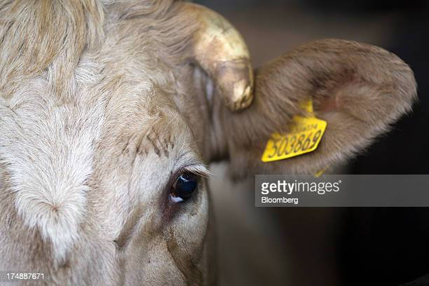 A cow looks out from a stall after being sold at the livestock market by auctioneers Greenslade Taylor Hunt at Sedgemoor market in Bridgewater UK on...