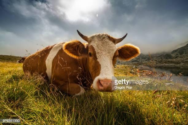 cow lying down in pasture - linda pop fotografías e imágenes de stock