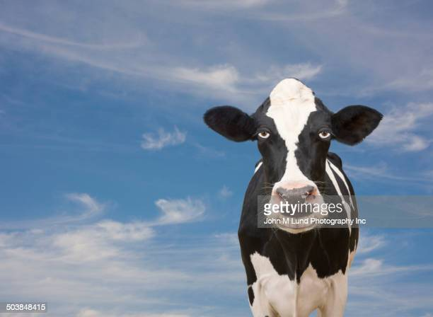 Cow making sarcastic expression in sky