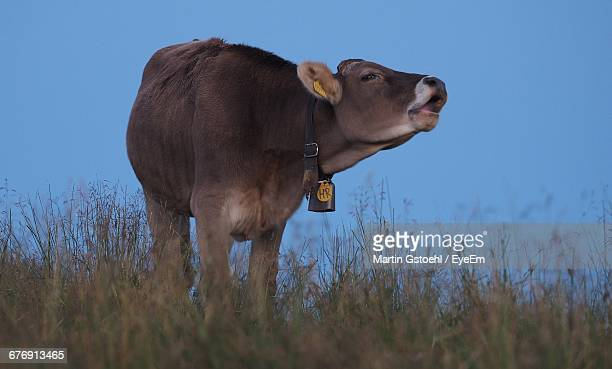 cow mooing on field against clear blue sky - cow mooing stock pictures, royalty-free photos & images