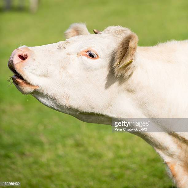 cow mooing - cow mooing stock pictures, royalty-free photos & images