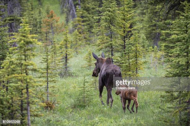 cow moose, alces alces, and young calf in kananaskis country, alberta, canada. - kananaskis country stock pictures, royalty-free photos & images