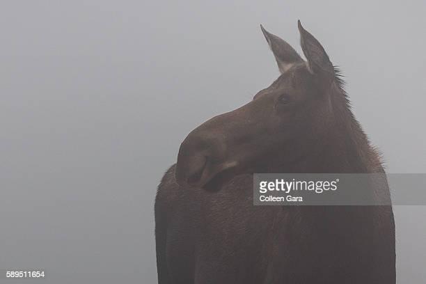Cow moose, Alces alces, portrait in fog in Kananaskis Country, Alberta, Canada