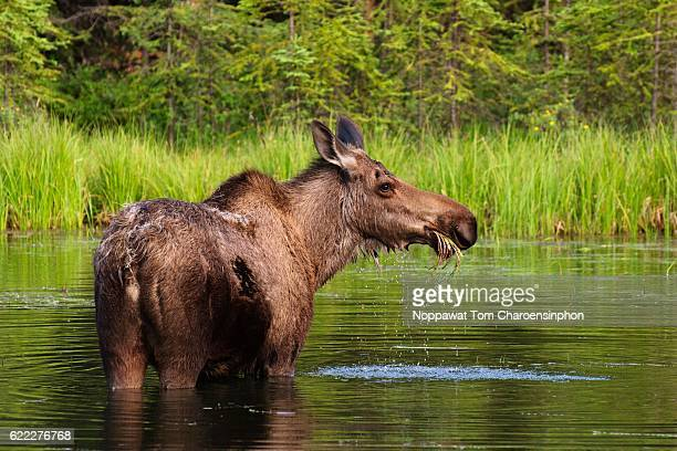 cow moose in alaska - moosehead lake stock photos and pictures