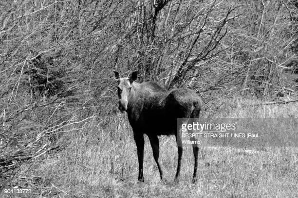 Cow Moose (Alces Alces), Northern Rocky Mountains Provincial Park, Alaska Highway (Mono version)