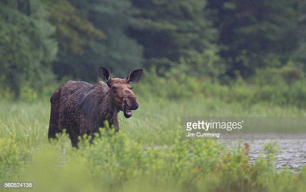cow moose - female animal stock pictures, royalty-free photos & images