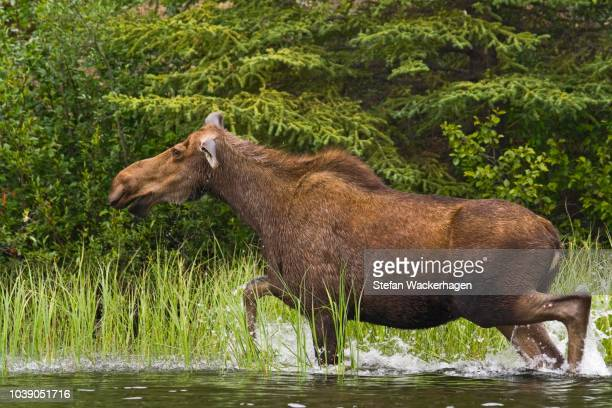 cow moose (alces alces), running in shallow water, big salmon river, yukon territory, canada - running deer shooting stock pictures, royalty-free photos & images