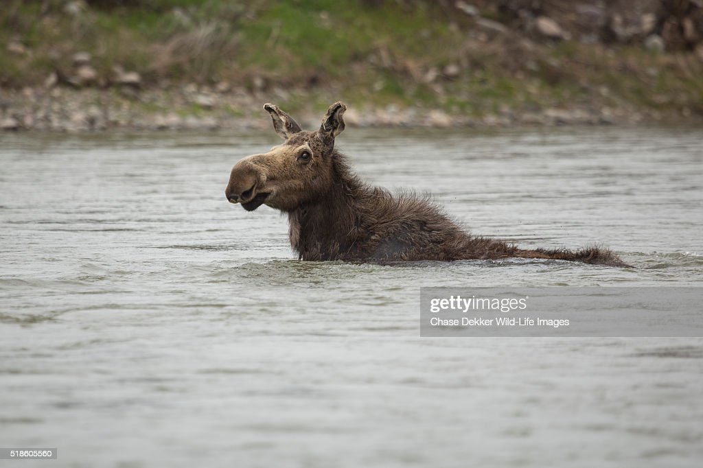 Cow Moose Swimming in River : Stock Photo