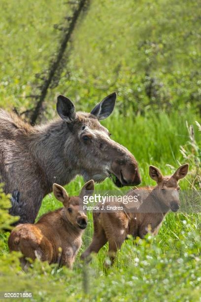 cow moose with two spring calves - young animal stock pictures, royalty-free photos & images
