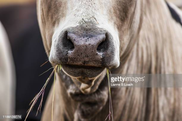 cow nose - lianne loach stock pictures, royalty-free photos & images