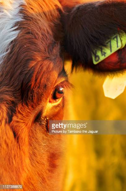 cow number 6477 - cow eyes stock pictures, royalty-free photos & images