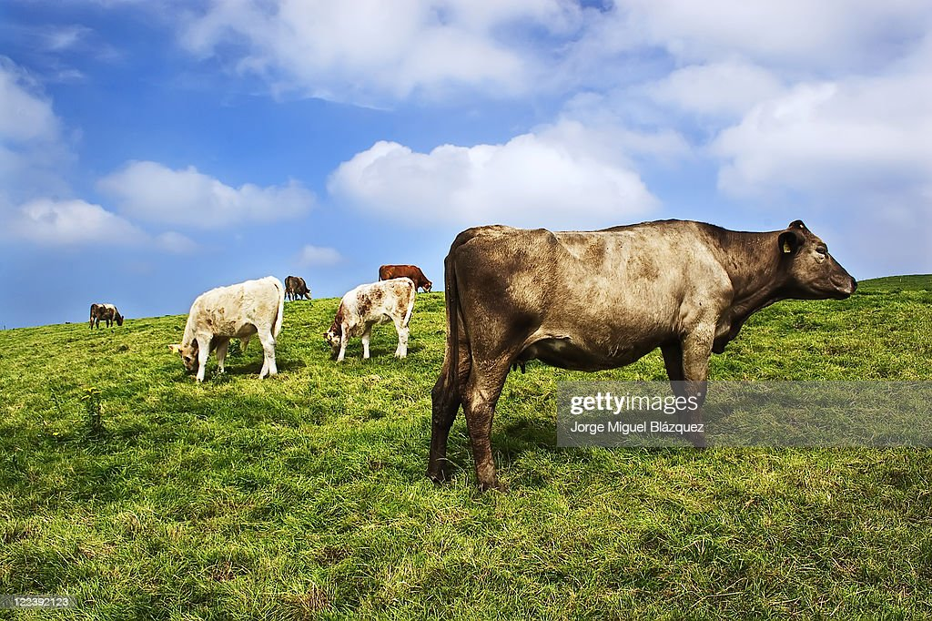 Cow of Ireland : Foto de stock