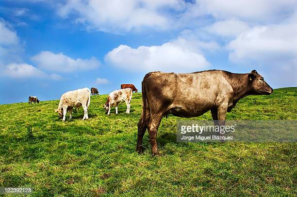 Cow of Ireland