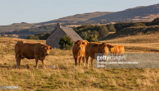 cow of salers france - cantal stock pictures, royalty-free photos & images