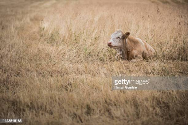 A cow on a dry pasture is pictured on July 05 2019 in Weigersdorf Germany