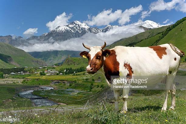Cow on a pasture at River Tergi or Terek, near Sioni, High Caucasus, Mtskheta-Mtianeti region, Georgia