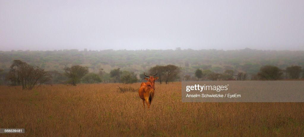 Cow On Field Against Sky : Stock Photo
