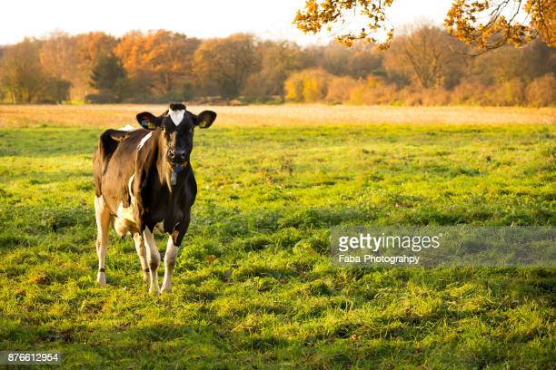 Cow On Field With Sunrise In The Background